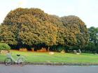 大木のキンモクセイ