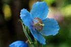 ヒマラヤの青いいケシ
