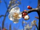 白梅も咲き